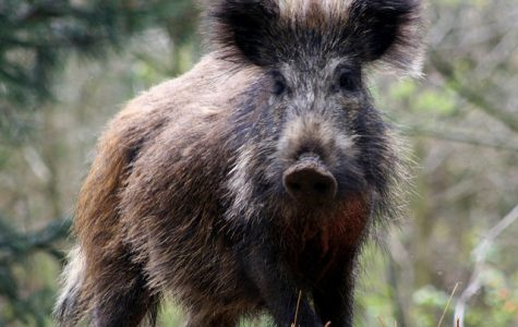 Wild hogs present problems for campus