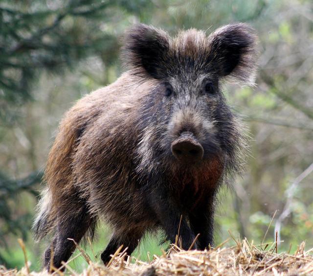 Wild hogs dig up soccer fields.